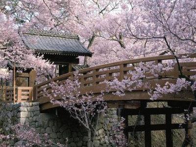 cerezoenflor Los cerezos en flor de Yoshinoyama