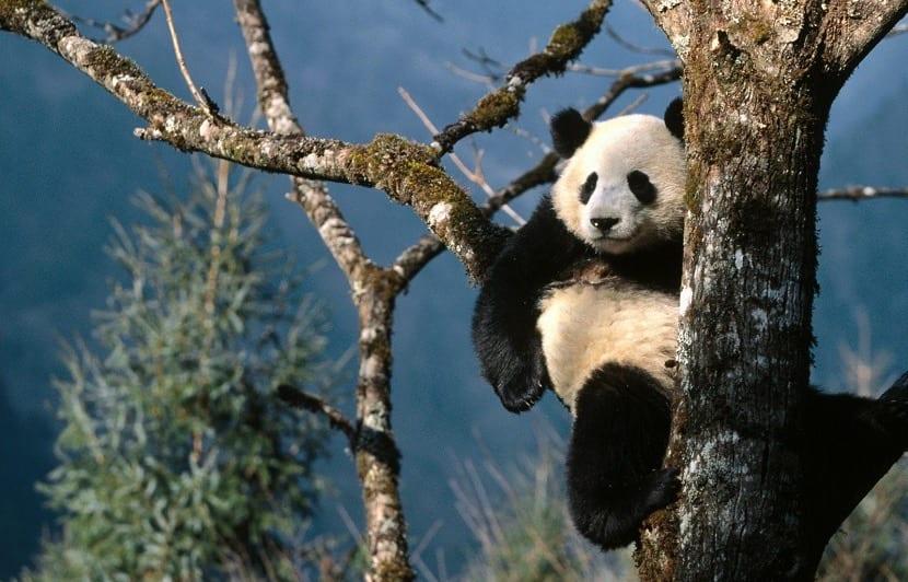 Oso panda subido en un árbol