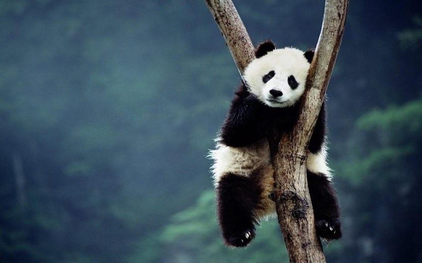 Oso panda colgado en un árbol