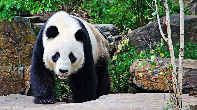Oso panda caminando