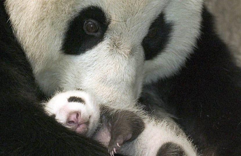 Oso panda con bebé