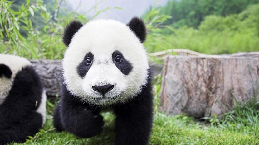 Oso panda joven