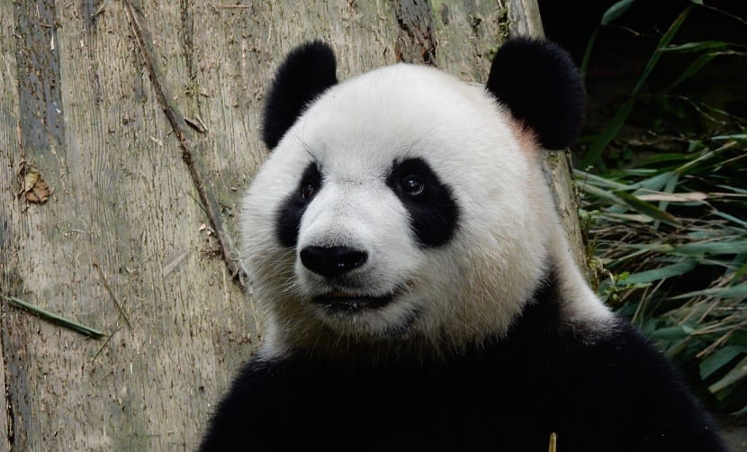Oso panda en zoo