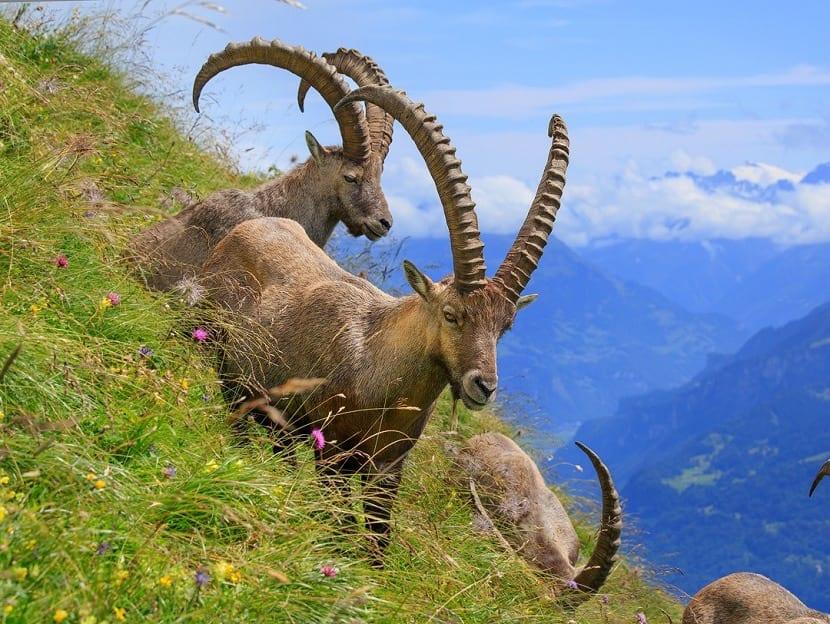 Cabras en los alpes