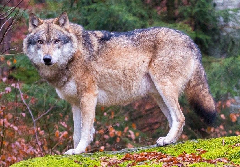 Lobo en los Alpes