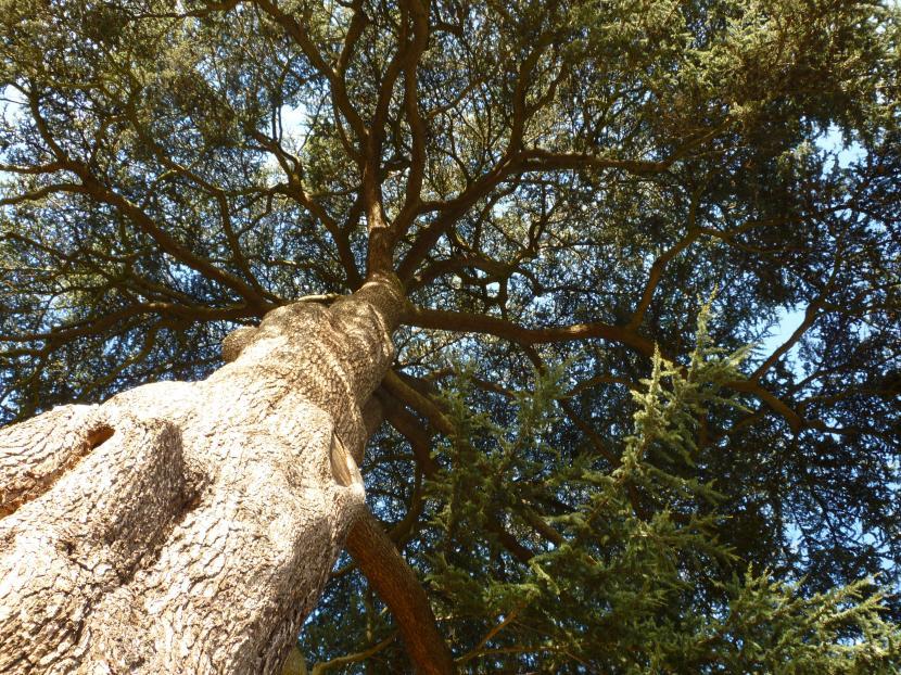 Altura del cedro