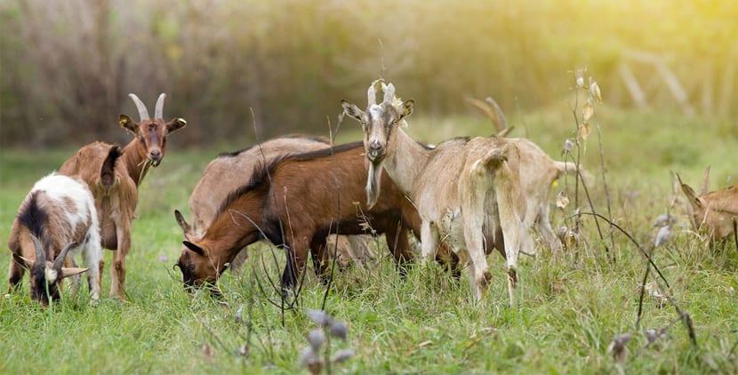 caza-de-cabras-en-australia