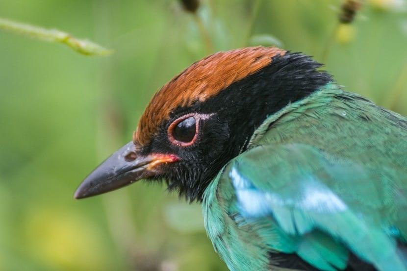 Pájaro de Jatinga