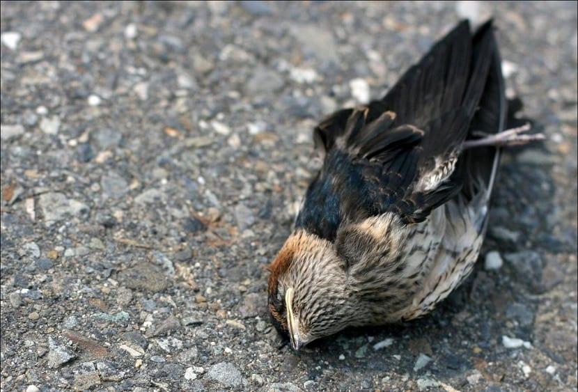 Pájaro de Jatinga muerto