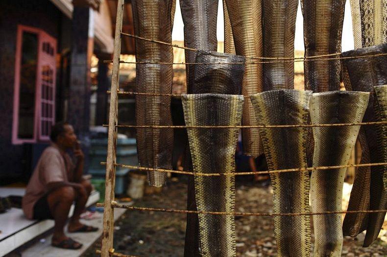 La industria de la piel de serpiente en Indonesia