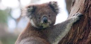 Koalas, animales de Australia