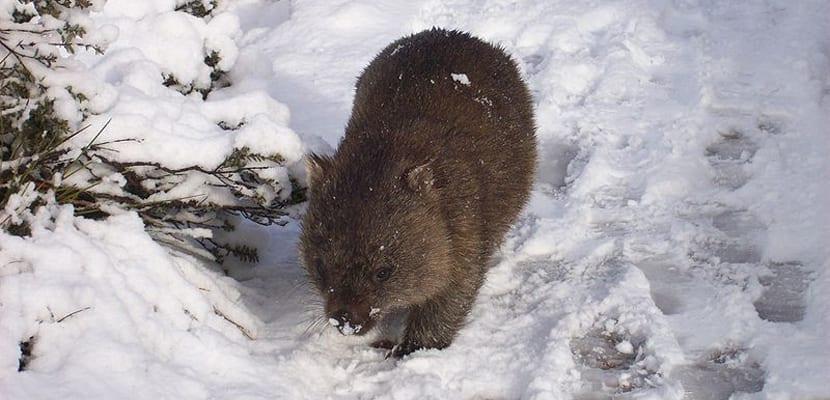 El wombat de Australia