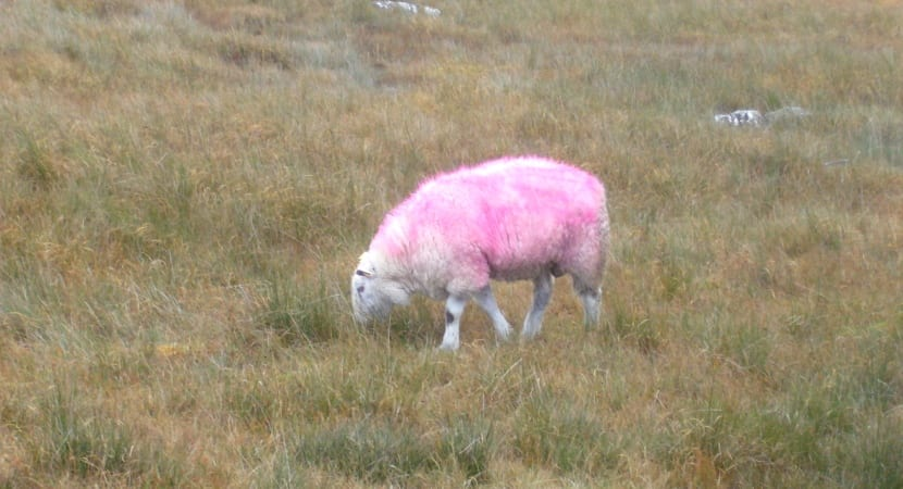 costa oeste irlanda oveja