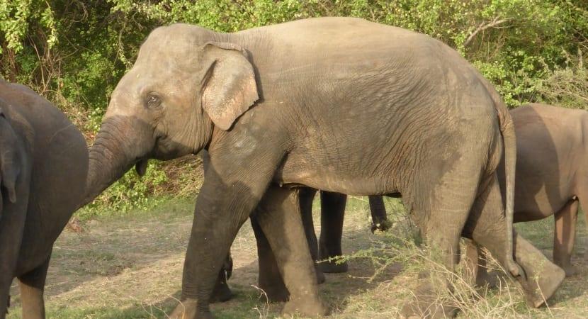 safari Minneriya elefante
