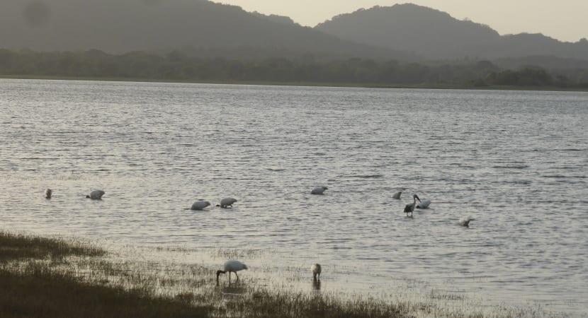safari Minneriya laguna