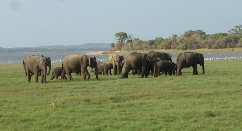 safari Minneriya elefantes
