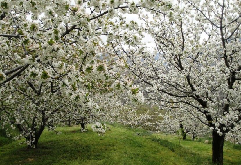Los Cerezos en flor del Valle del Jerte 2