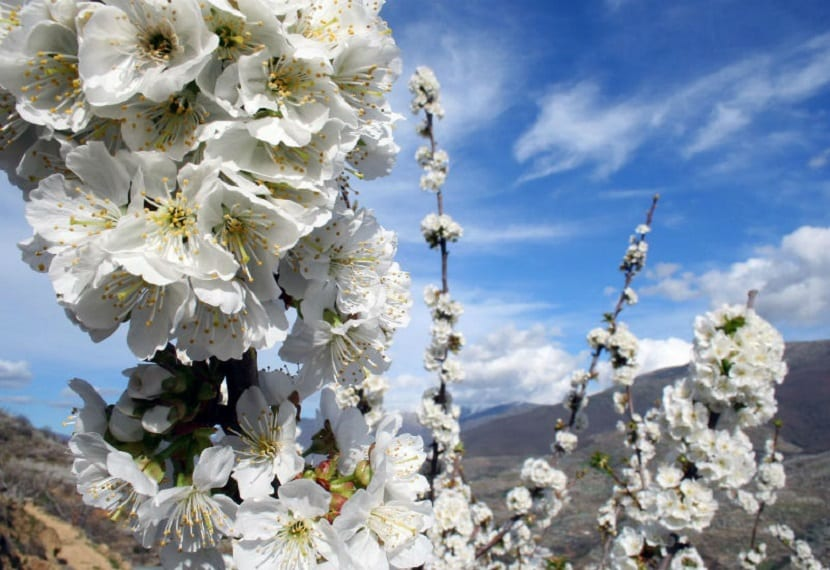Los cerezos en flor del Valle del Jerte 3
