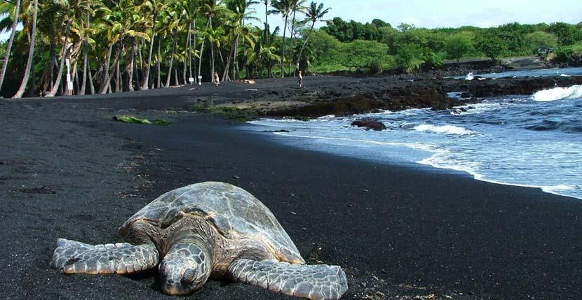 Tortugas en Playa Punaluu