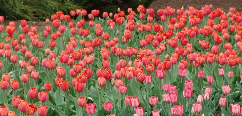tulips istambul