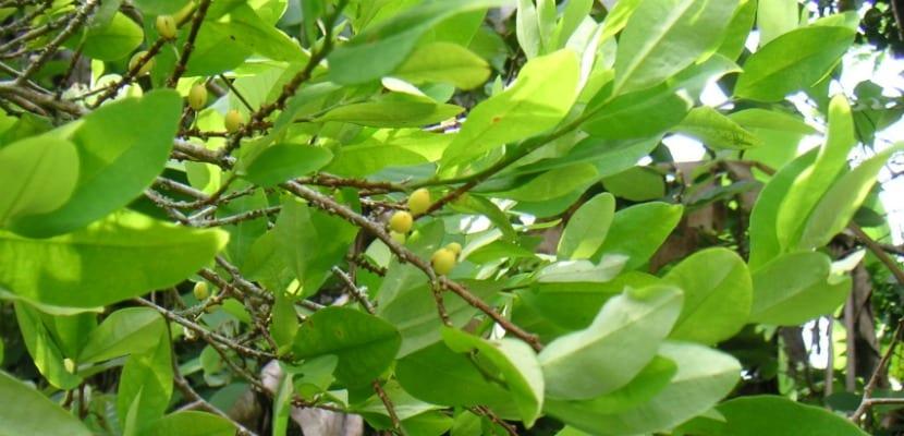 hojas coca