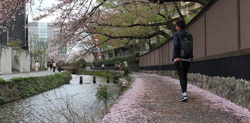 Cerezos en Kioto