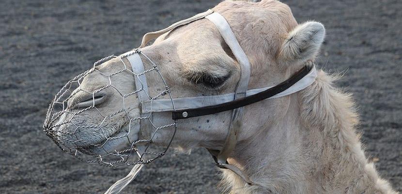 Camello en Timanfaya