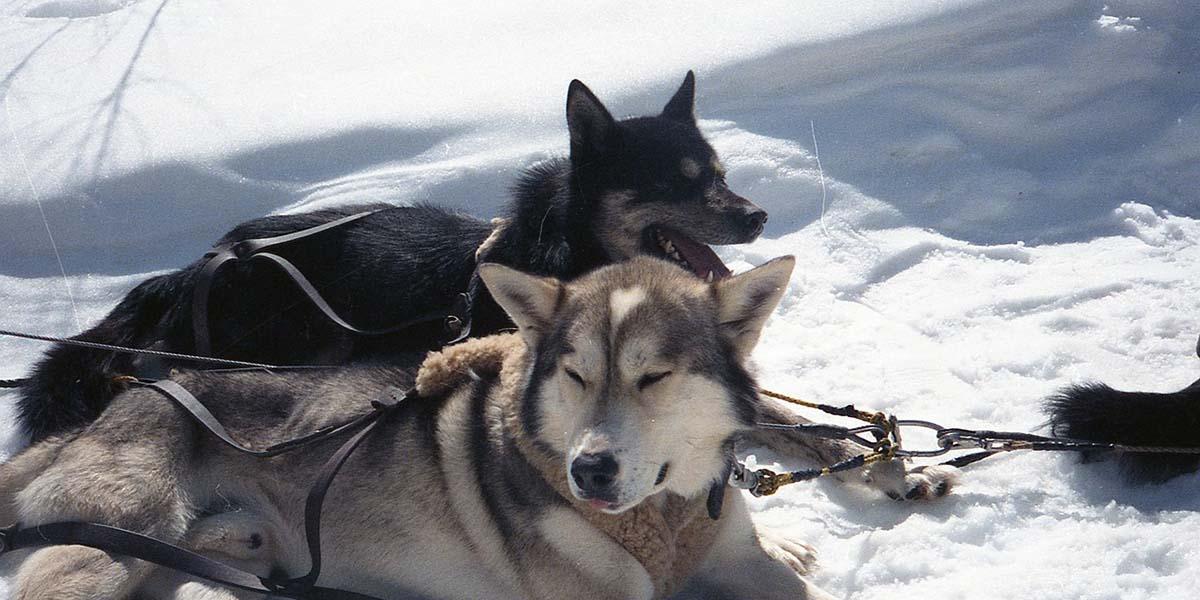 Trineo de huskies